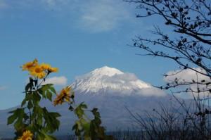 ひまわりと雪の富士山
